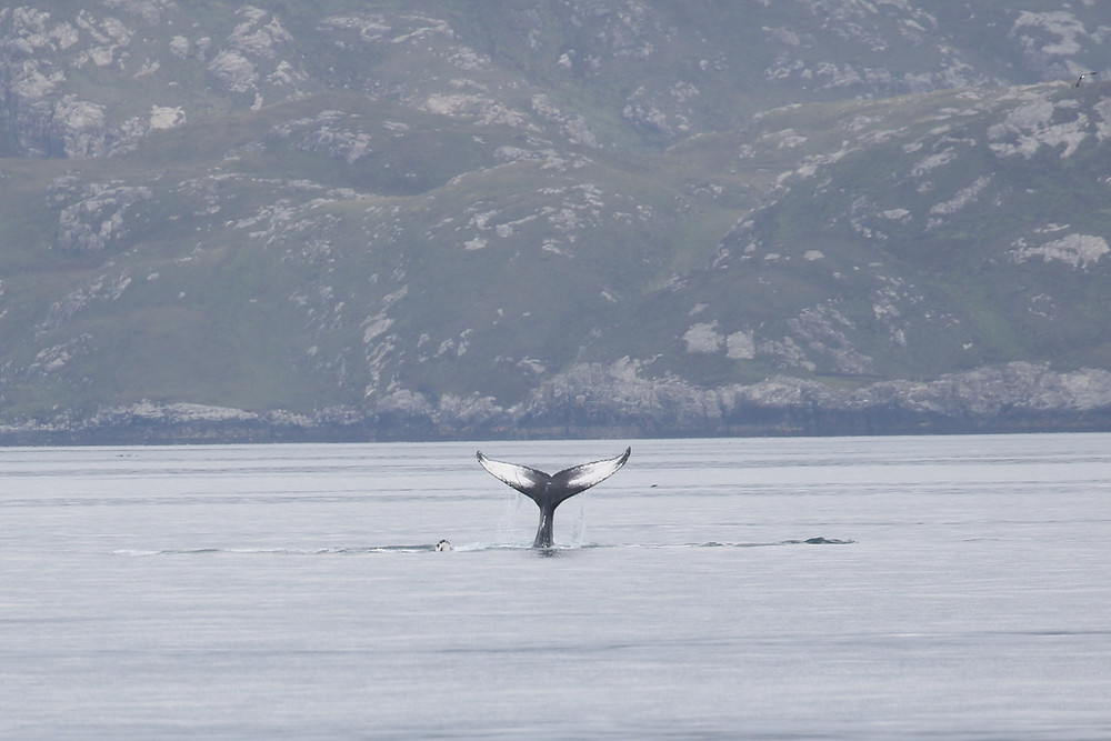 Humpback whale tail in Scotland