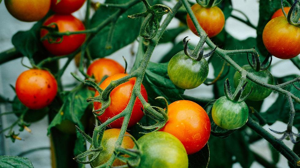 100 x Aussaat für Tomaten
