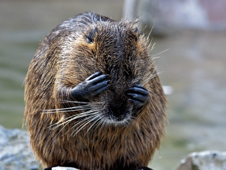 Beavers to play their part in flood prevention