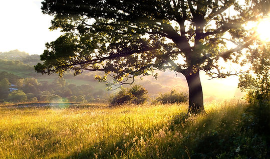 Long grass and tree in morning light.jpg