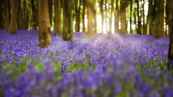 Blue-bell-wood-surrey-purple.jpg