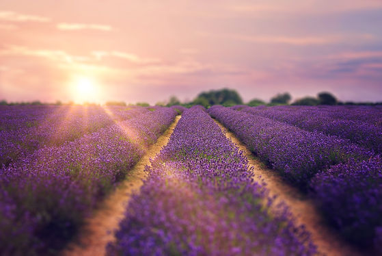 Mayfield-lavender-farm-Jo-Temple-Photogr