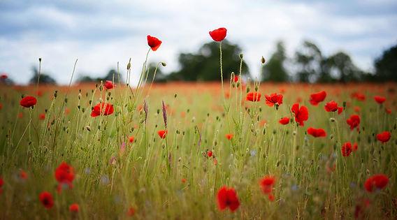 poppy-field-web.jpg