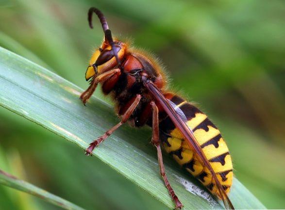 Frelon européen (vespa crabo)
