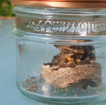 Capture frelon asiatique