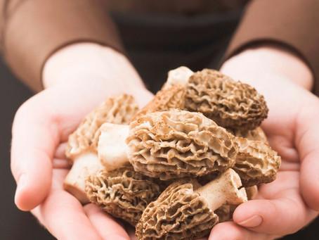 Forging for Morel Mushrooms