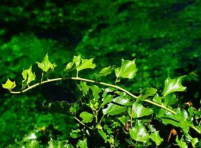 ivy-1469815_1920.jpg