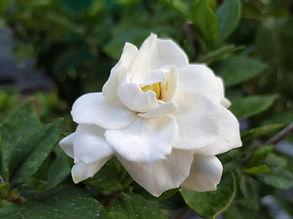 cape-jasmine-4104327_1920.jpg