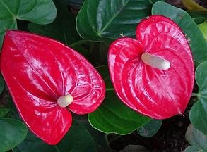 flamingo-flower-1672186_1920.jpg