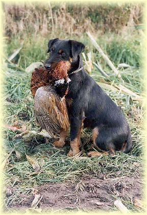маленькая собака на охоте.jpg