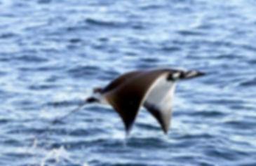 летающий скат.jpg