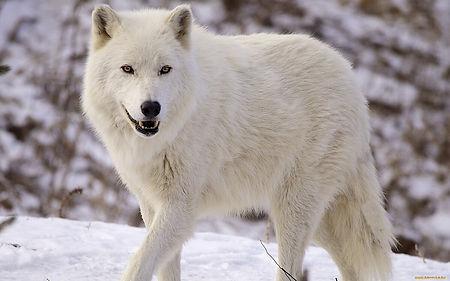 белый полярный волк.jpg