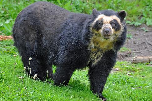 очковый медведь.png