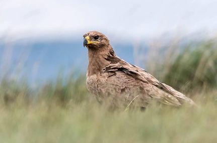 степной орел.jpg