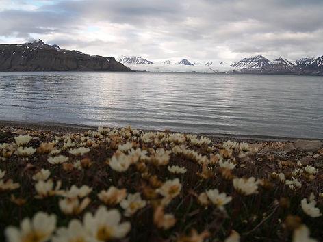 арктический мак.jpg