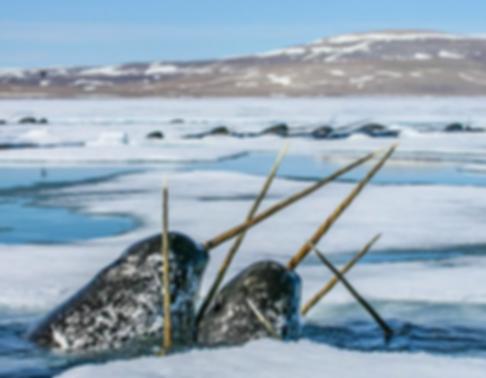 нарвал в Арктике.png