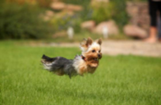 маленькая- но очень резвая собачка.jpg