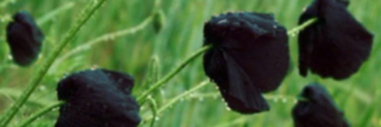 черные маки.jpg