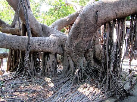 каучуковое дерево.jpg