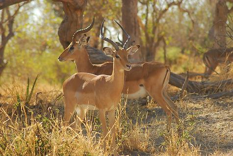 антилопы африки.jpg