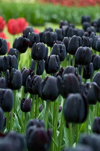 черные тюльпаны1.jpg
