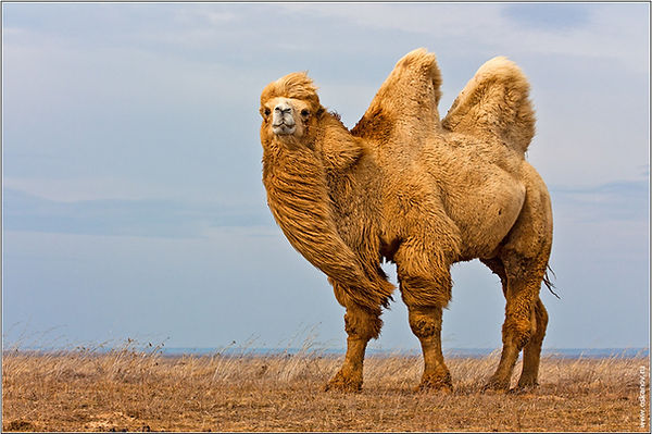 двугорбый верблюд.jpg