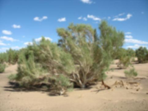 саксаул в пустыне.jpg