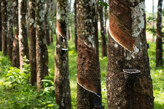 каучуковые деревья.jpg