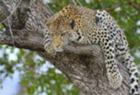 леопард на дереве.jpg