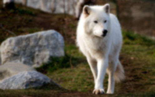 полярный волк.jpg