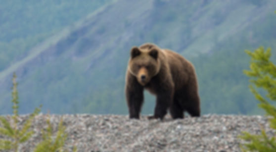 медведь на байкале.jpg