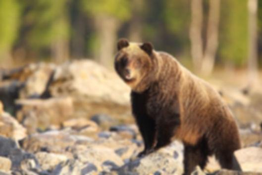 байкальский медведь.jpg