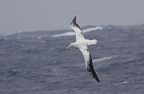 альбатрос.jpg