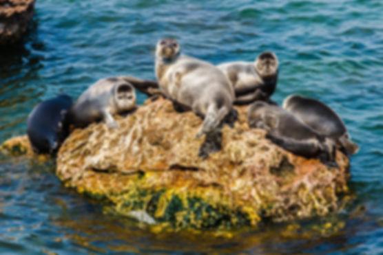 байкальский тюлень.jpg