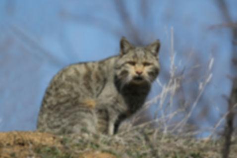 Лесной_кот.jpg