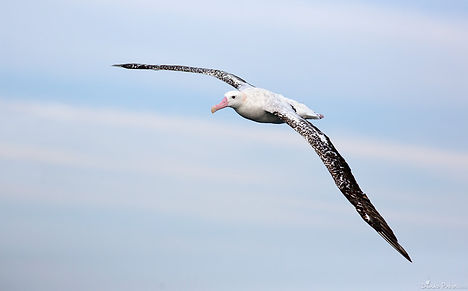 крупный альбатрос.jpg