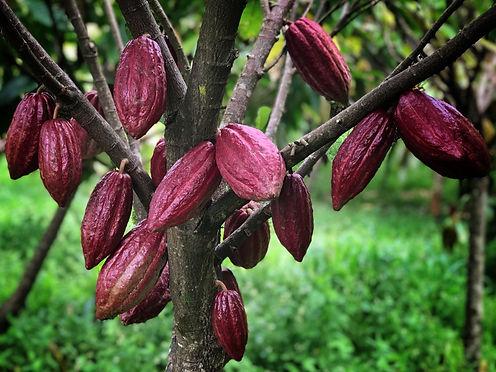 шоколад. какао дерево.jpg