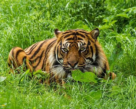 tiger lurking.jpg