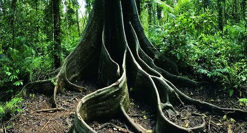 Тропический лес Дейнтри. Австралия.jpg