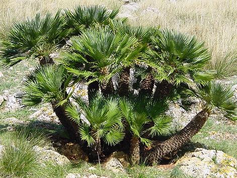 карликовая пальма.jpg