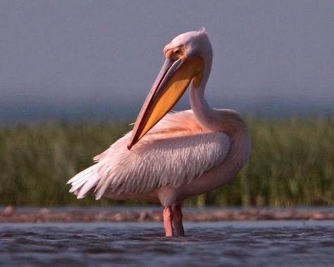 африканский пеликан.jpg