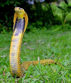 filipinskaya cobra.jpg