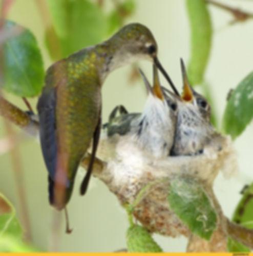 колибри кормит птенцов.jpeg