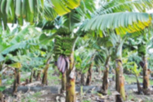 банановые деревья.jpg