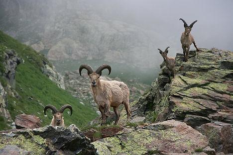 горные козлы.jpg
