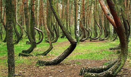 Кривой Лес в Польше1.jpg