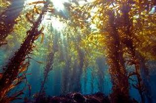 красные (бурые) водоросли.jpg