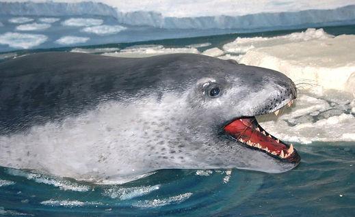 тюлень-крабоед.jpg