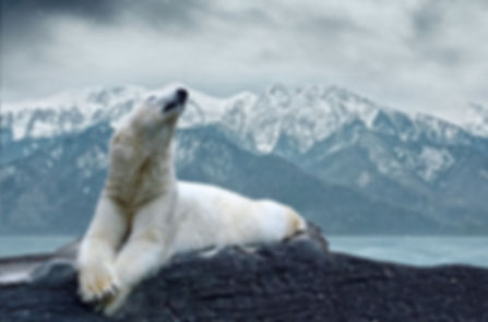 белый медведь.jpg