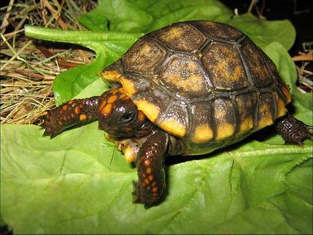 желтоногая черепаха.jpg